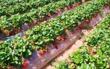 Как посадить и ухаживать за клубникой