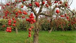 Посадка и уход за яблонями