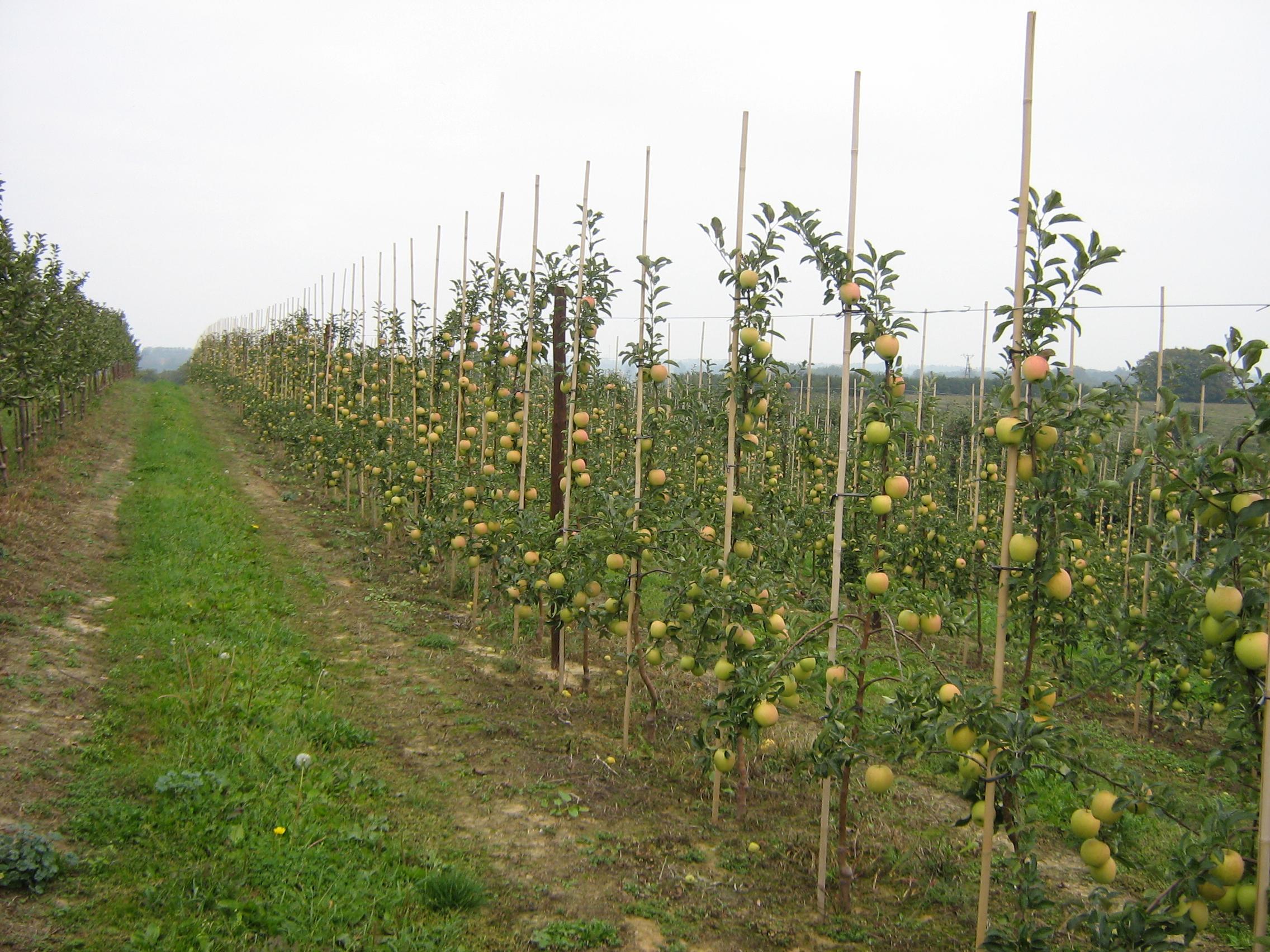 Виды, типы и сорта яблонь с фото и 50