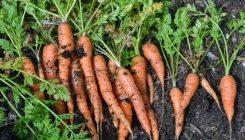 Как правильно сажать, выращивать и хранить морковь