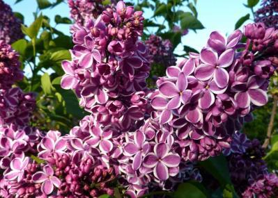 Разновидность сирени - фиолетовая