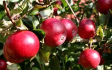 Технология выращивания яблони