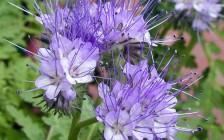 Фацелия – ценное медоносное и кормовое травянистое растение