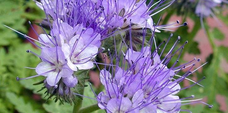 Фацелия — ценное медоносное и кормовое травянистое растение