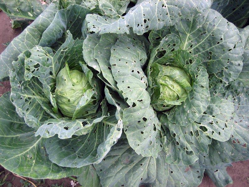 фото болезни капусты белокочанной