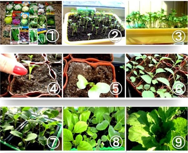 Выращивание рассады брюссельской капусты
