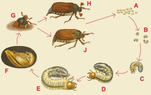 Жизненный цикл майского жука (хруща)