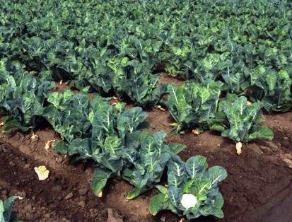 Как хранить цветную капусту на зиму правильно в домашних 29