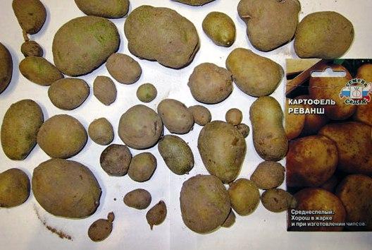 Клубни из семян картофеля