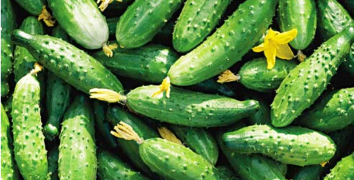 Огурцы в открытом грунте: как получить большой урожай