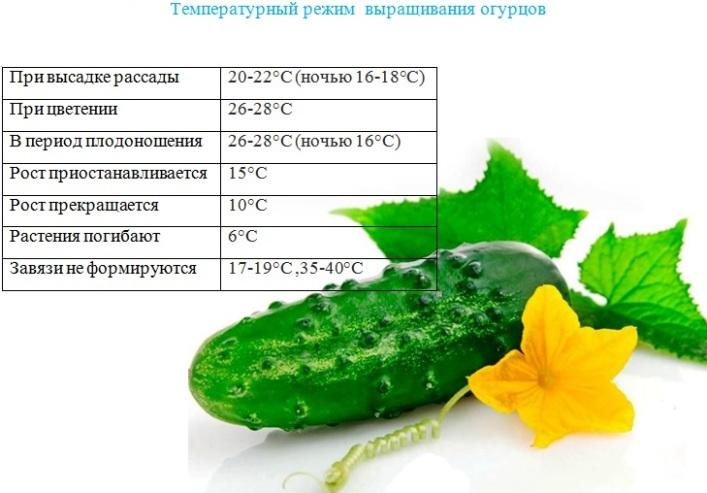 Температурный режим выращивания огурцов