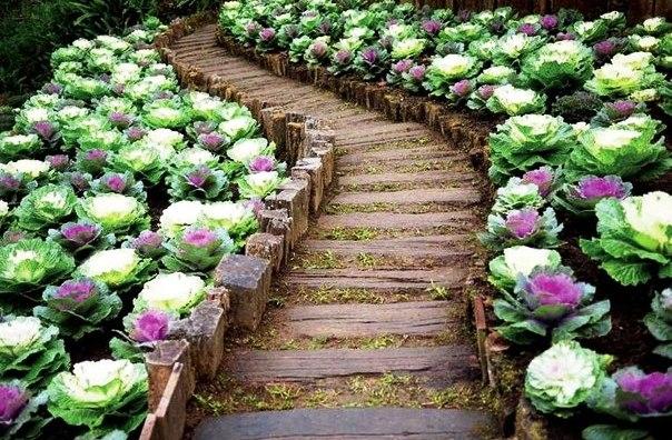 Декоративная капуста в садовом интерьере