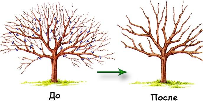 Деревья до и после обрезки