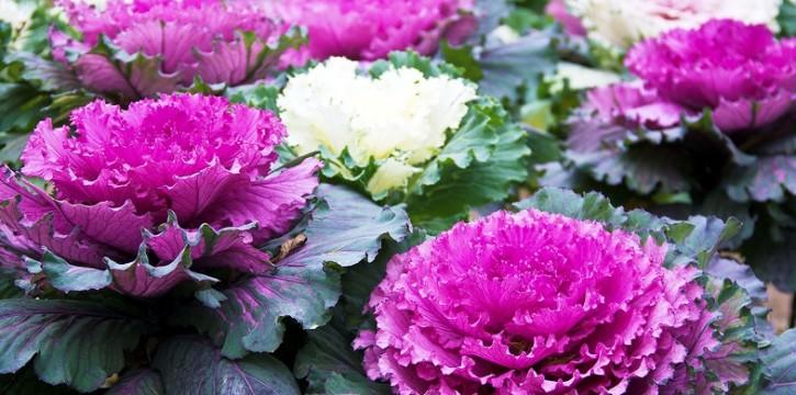 Декоративная капуста: секреты выращивания