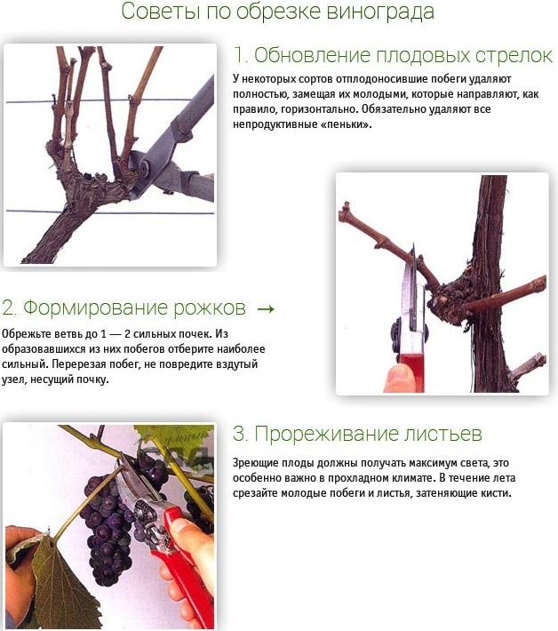 Советы по обрезке винограда