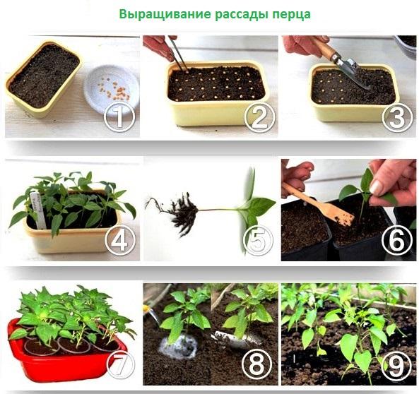 Можно ли сажать перец из своих семян 317
