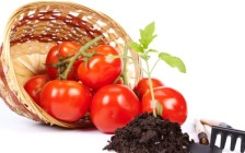 Как вырастить рассаду помидор. Основные рекомендации.