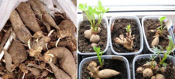 Георгины: выращивание и уход