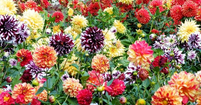 Цветущие однолетние георгины