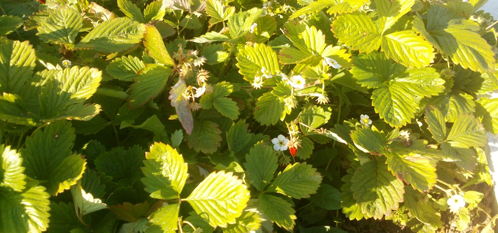 Земляника: плодоношение до осени (фото от 28 сентября)