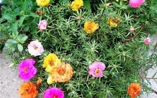 Как вырастить цветущий портулак