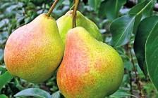 Груша: выращивание и популярные сорта