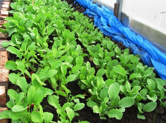 Выращивание редиса зимой в теплице