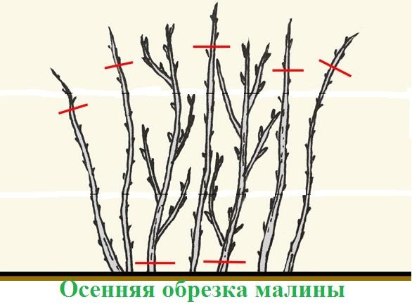 Осенняя обрезка малины