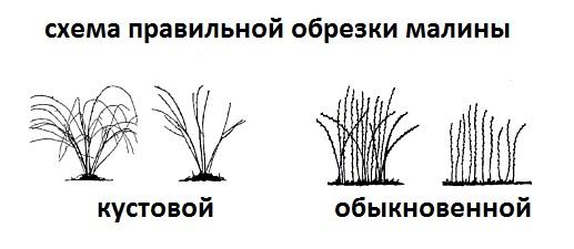 Схема правильной обрезки малины