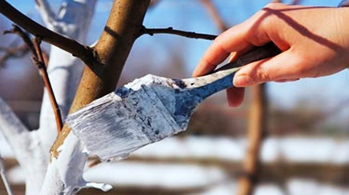 Весенний уход за садовыми деревьями: побелка деревьев