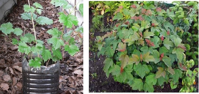 Выращивание калины в саду, уход за растением
