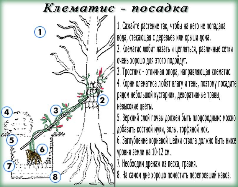 Клематис: выращивание и уход