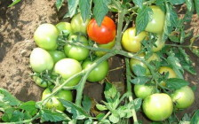 Особенности ухода за томатами в открытом грунте