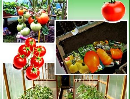 Лучшие сорта и гибриды помидор