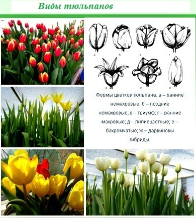 Тюльпаны: время посадки луковиц