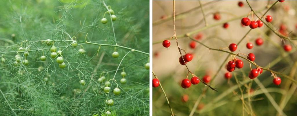 Спаржа: как правильно посадить и вырастить