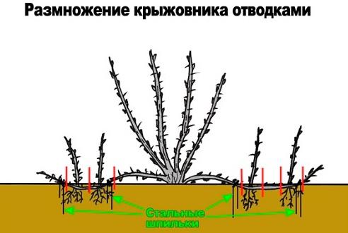 Разнообразные варианты размножения крыжовника