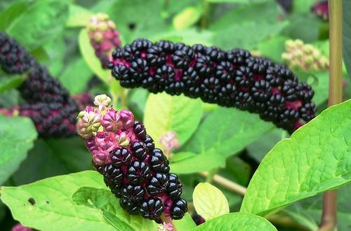 Лаконос: необычное растение на грядке