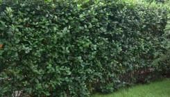 Черноплодная рябина – живая и полезная изгородь